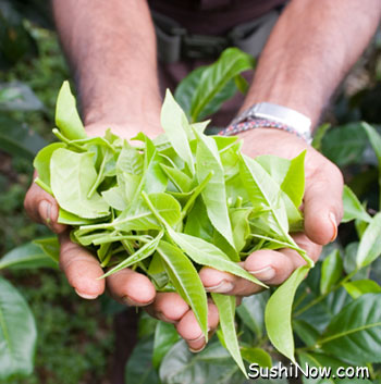 Fresh Picked Green Tea Leaves