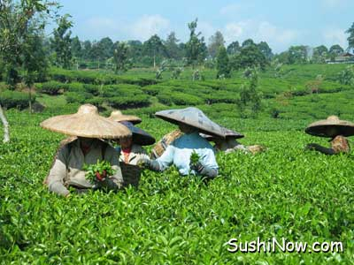 Green Tea Picking